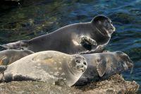Ученые считают, что образ милого животного идет байкальской нерпе во вред