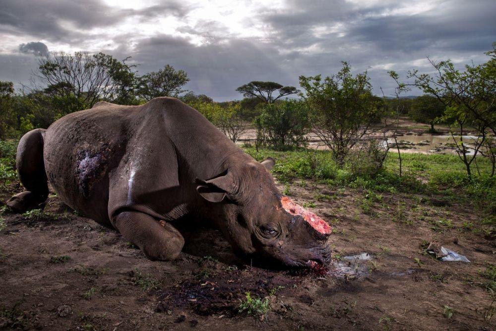 Очень грустная история о редком носороге из заповедника, которого подстрелили нелегально в южной части Африки, заняла первое место среди фотоисторий категории «Природа». Видно, что браконьеры целенаправленно охотились за рогом, который имеет очень большую ценность в медицине Азии