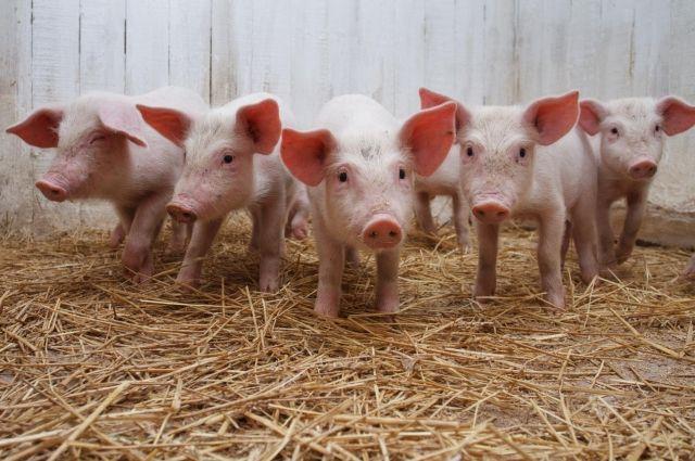 Вгосударстве Украина оценили убытки отвспышки чумы свиней