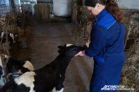 Сейчас в Тяжинском районе число общественных коров, принадлежащих совхозам и хозяйствам, чуть более 3100 – в 10 раз меньше, чем 30-40 лет назад. Потому и сырьё для сгущёнки найти непросто.
