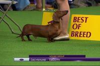Westminster Kennel Club считается одним из самых престижных всепородных конкурсов среди собак.
