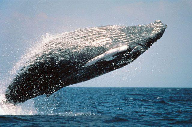 Какие киты самые крупные в мире?