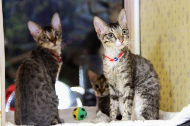 На выставке котят можно получить консультацию по уходу за питомцами.