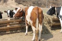 В регионе высок падеж крупного рогатого скота. Особенно в первый месяц жизни