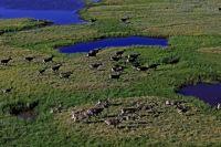 В 2000 году Таймырская популяция дикого северного оленя насчитывала до 1 млн. голов и считалась крупнейшей в Евразии.