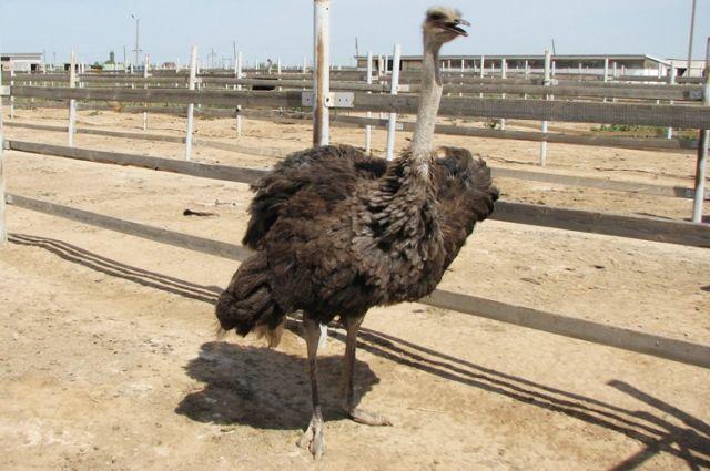 Когда-то страусиные фермы были для Южного Урала диковинкой.