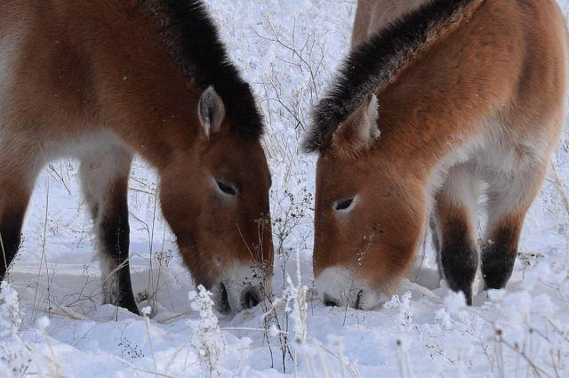 Лошадям Пржевальского найти пропитание зимой очень трудно.
