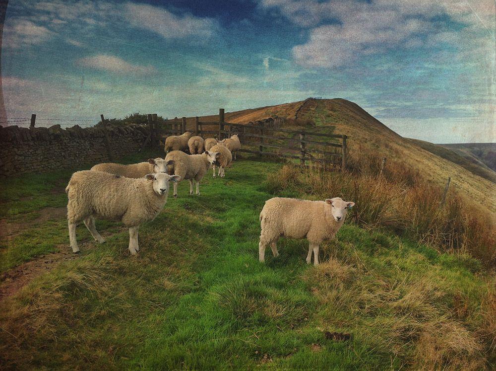 Лучшее фото по версии АиФ в категории «Природа и животные». Автор назвал его «Любопытные овцы»