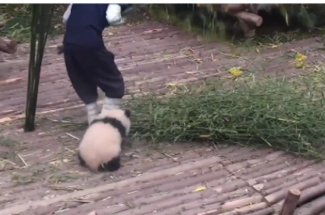 Панда не оставляла мужчину в покое