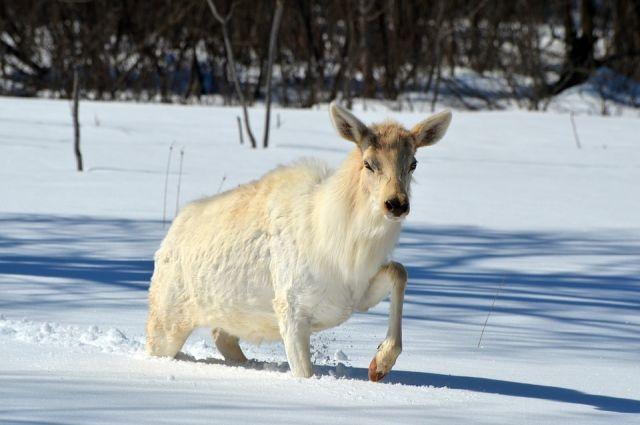 Под Екатеринбургом расстреляли лося ибеременную лосиху— Зверство