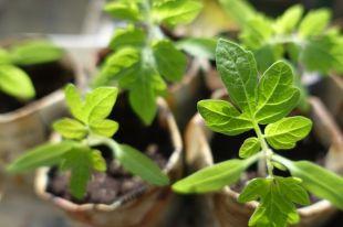 Каждый садовод хочет, чтобы рассада росла крепкой и здоровой, ведь от этого зависит будущий урожай.