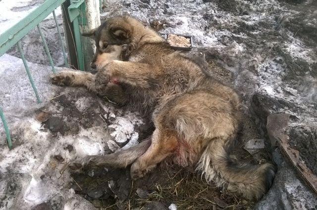 Осматривая собаку, которую волонтёры назвали Тайга, ветврачи сказали, что её ещё и с силой пнули несколько раз. То ли добить хотели, то ли проверить, жива ли.