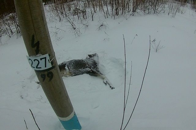 Туша самки лося возрастом до 1 года весом около 150 кг была обнаружена охотоведом.