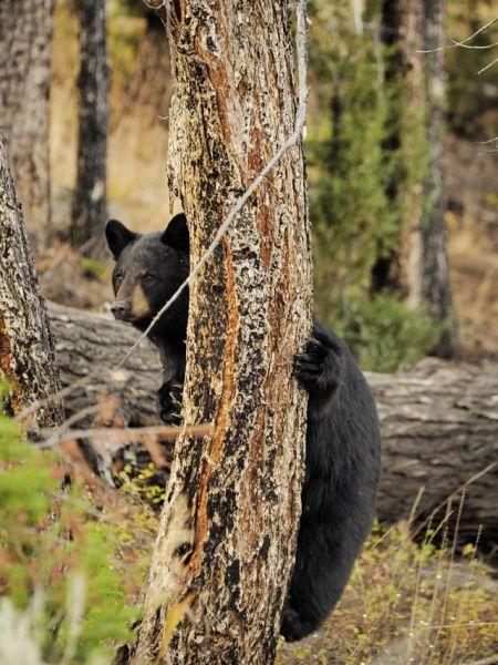 Чёрный медведь (барибал).