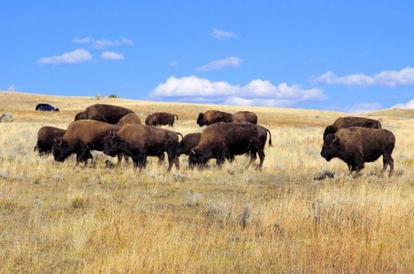 Поголовье бизонов в парке — одно из самых больших в США.