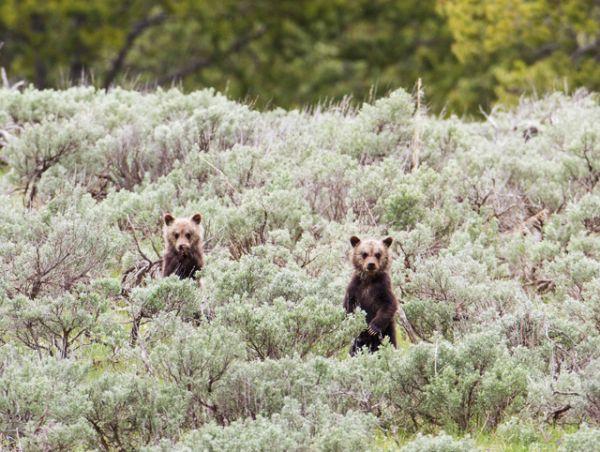 Медвежата гризли в парке Йеллоустоун.