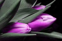 Для иркутян к празднику подготовили новые сорта тюльпанов.