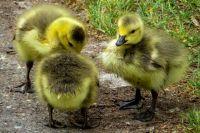 Сельское население увеличивает поголовье уток и гусей