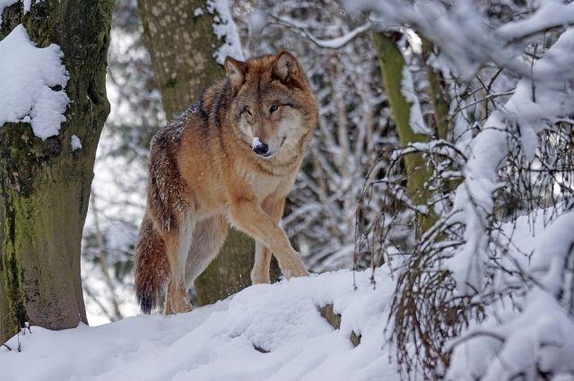 Следы волка обнаружены на юго-западной границы заповедника на льду реки Мана.