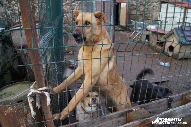 В Калининграде появится бригада экстренного реагирования для отлова собак.
