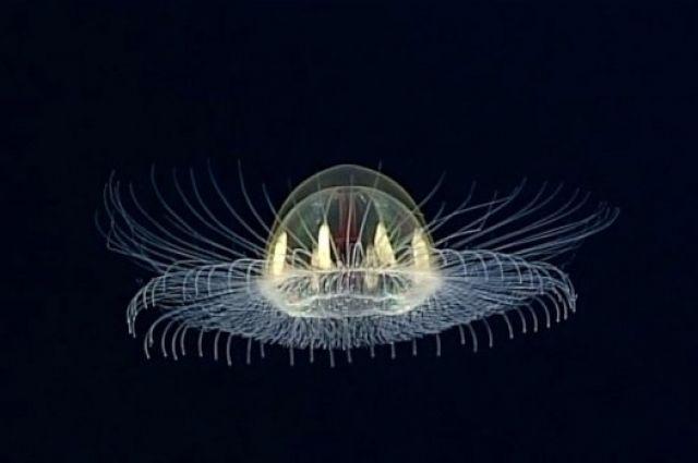 ВТихом океане ученые отыскали неповторимую медузу-НЛО: появились кадры