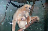 Самка гиббона Габи с малышом.