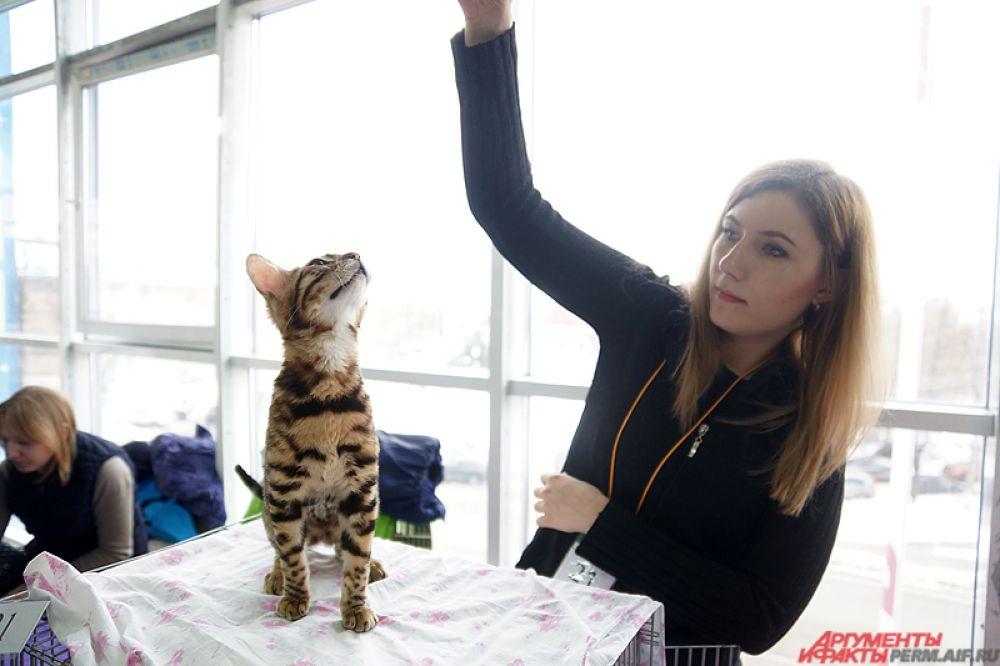 На мероприятии любой желающий может приобрести понравившегося котёнка и получить консультации заводчиков.