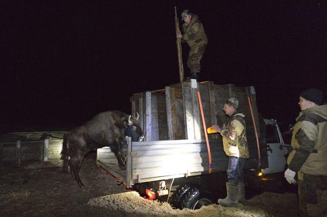 В «Брянский лес» привезли 2-х самок зубров