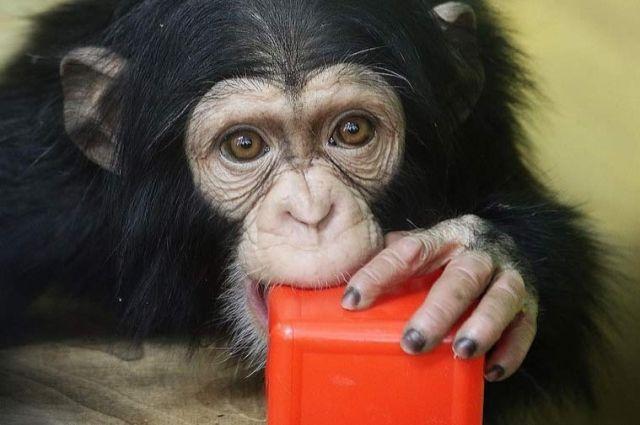 Шимпанзе Филя иЛюся изновосибирского зоопарка получили подарки городских жителей
