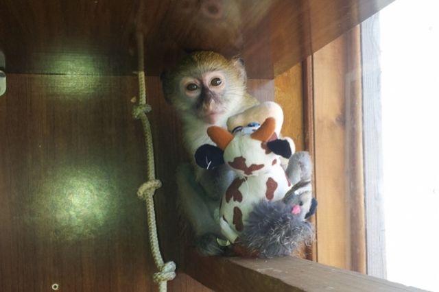 В коммерческом центре Нижневартовска обнаружили труп обезьяны