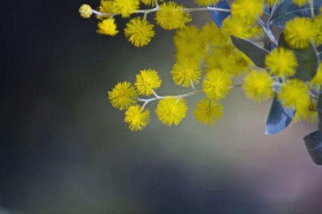 Акация серебристая (она же мимоза) появляется в продаже в Сибири только в преддверие 8 Марта.