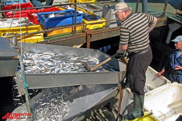 В Калининградской области рыбаки вышли на промысел салаки.