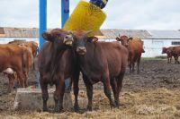Субсидии выделяют на развитие молочного и мясного животноводства