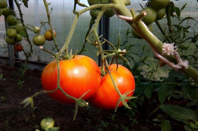 В Салехарде раздавили санкционные помидоры, гранат и яблоки