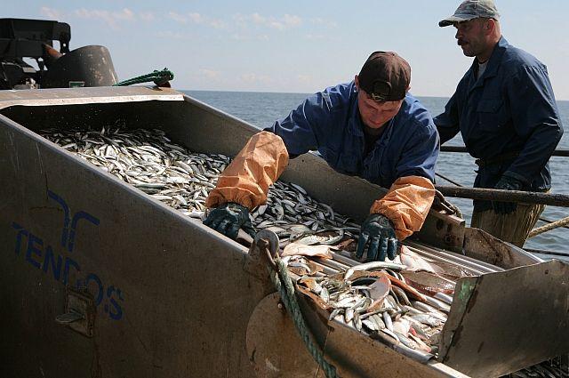 Насевере Красноярского края пропадает деликатесная рыба муксун