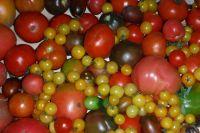 На огороде растут помидоры самых разных сортов