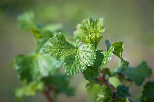 Здоровые листья чёрной смородины должны быть пятилопастными и симметричными.