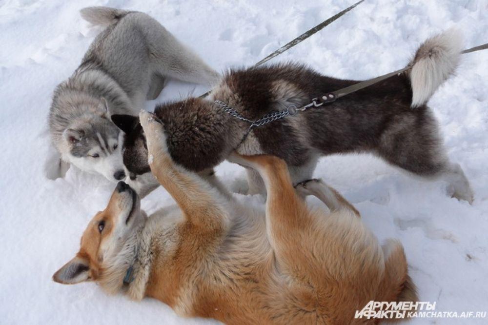 Перед заездами, вовремя и после собаки совсем не прочь поиграть.