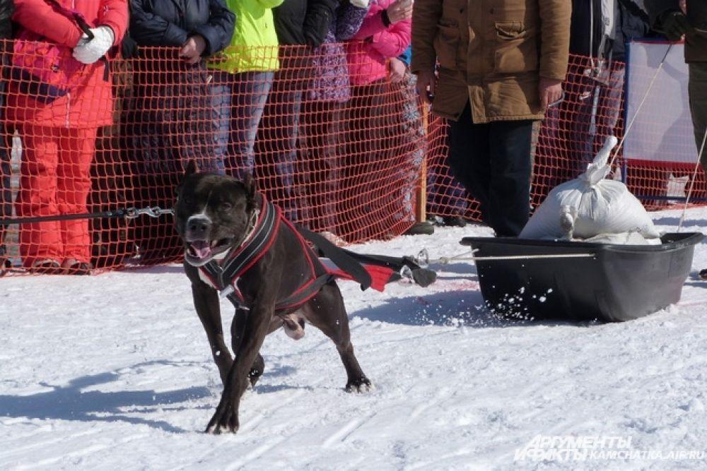Вейтпуллинг — вид кинологического спорта по перемещению груза собакой. Собака в специальной шлейке, запряжённая в сани или тележку с грузом, должна преодолеть за минимальное время расстояние в несколько метров.