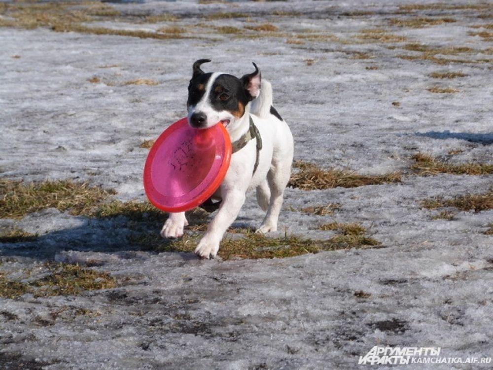 Маленький представитель дог-фризби (занятие для собак с летающей тарелочкой).