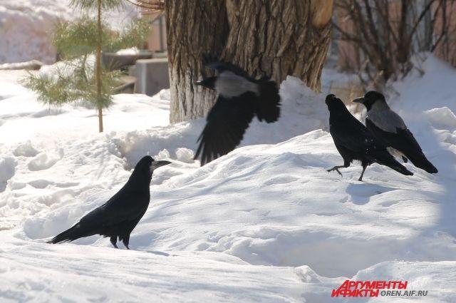 Птицы стараются перемещаться группами, причем все вместе: грачи, галки и даже вороны.