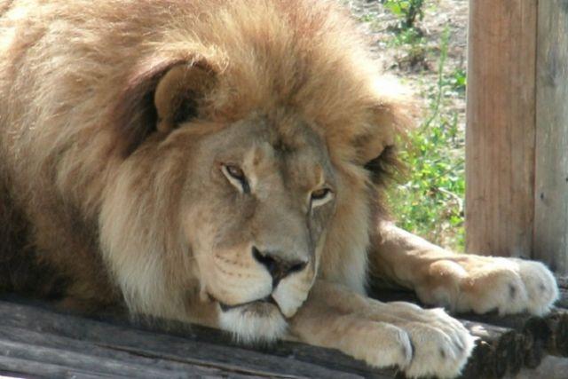 В Пензенском зоопарке Симба провёл практически всю жизнь.