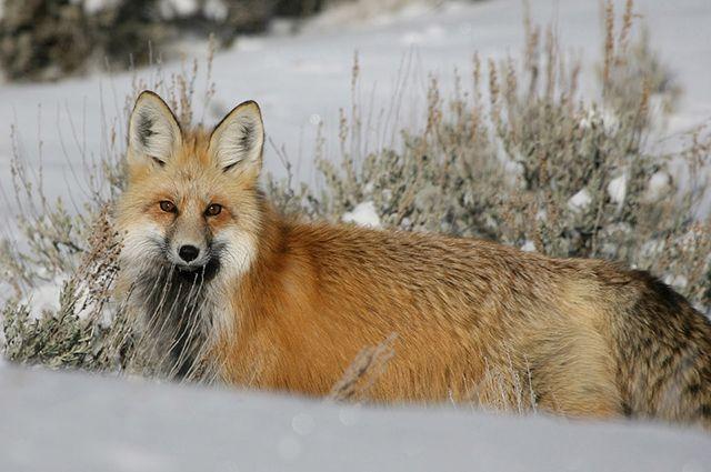 Случается, что больные животные заходят на деревенские подворья.