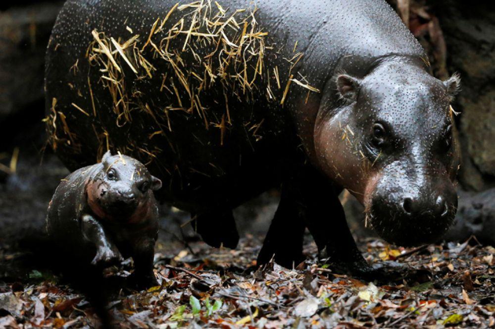 17 марта. В австралийском зоопарке «Таронга» на свет появился карликовый бегемот.