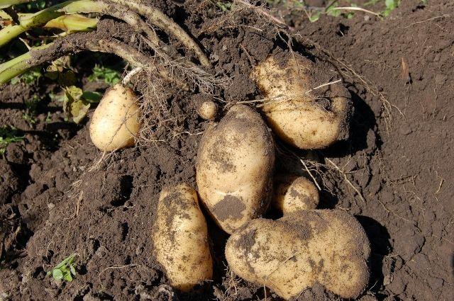 Заготавливая осенью картошку для будущей посадки, огородники берут клубни среднего размера с кустов, где преобладают крупные картофелины.