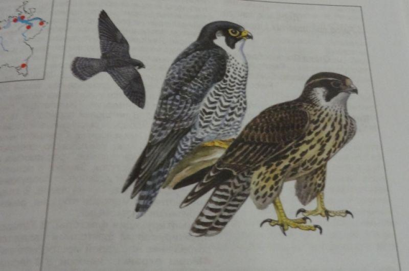 Сапсан. Этот вид находится под угрозой исчезновения. Орнитологи держат в секрете места их гнездования, так как на них охотятся сокольники. За последние 10 лет сапсанов видели в Агрызском, Мензелинском, Менделеевском, Мамадышском, Нижнекамском, Елабужском районах. Основной причиной исчезновения птиц считается распространение в сельском хозяйстве пестицидов.