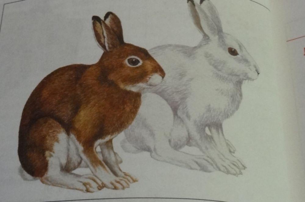 Заяц-беляк. Этот вид зайцеобразных впервые вошел в Красную книгу РТ. Его численность резко сократилась за последнее время: если в 1975 году их насчитывали более 70 тысяч особей, то в 2015 менее 7 тыс. Причиной исчезновения является банальная вырубка леса и браконьерство.