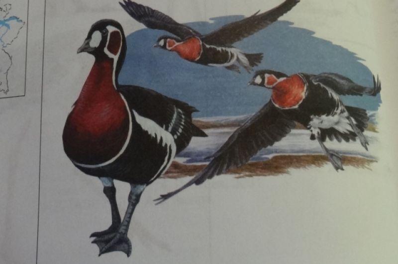 Казарка краснозобая. На территории Татарстана птицу видели только в периоды миграции. За последние 10 лет казарку встречали в Арском районе.