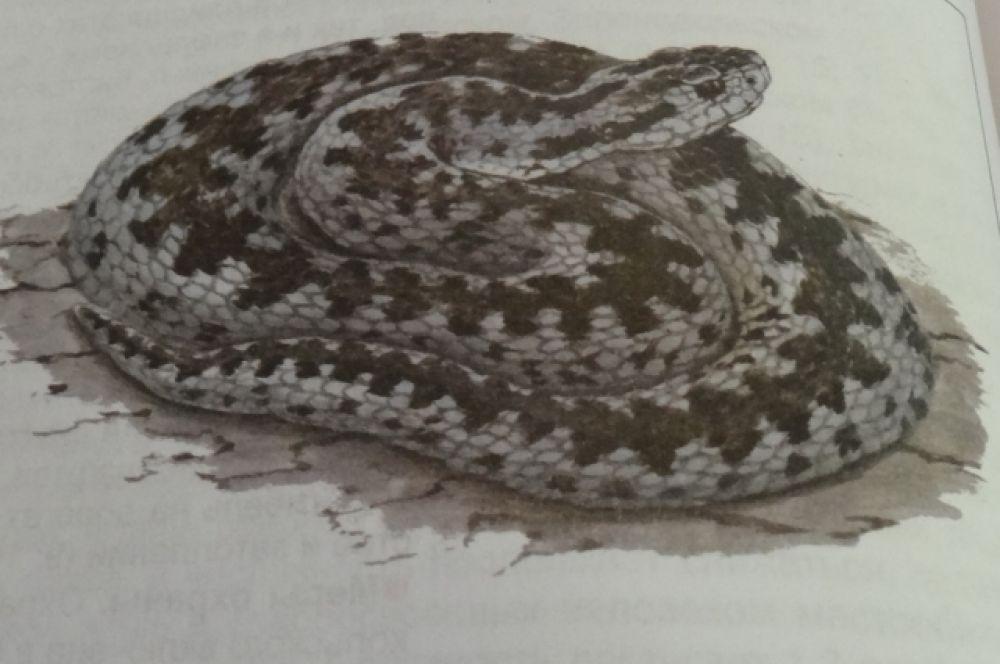 Гадюка степная. В Татарстане рептилия обитает в Спасском районе, населяет два острова. Ее численность оценивают в 700-900 особей.