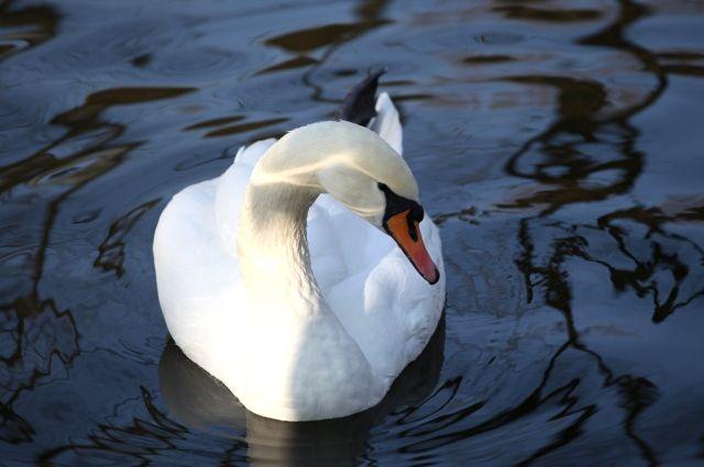 #Помогаюлебедю. Как птица привлекла внимание жителей Казани к уборке города
